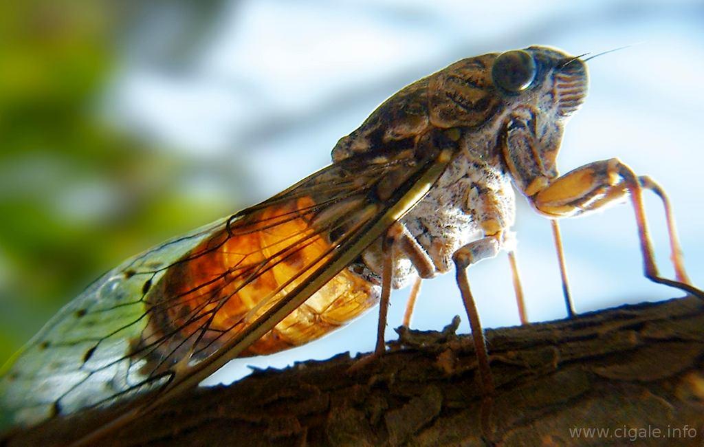 Cigale porquerolles insecte de provence sur la c te - Dessin d une fourmi ...