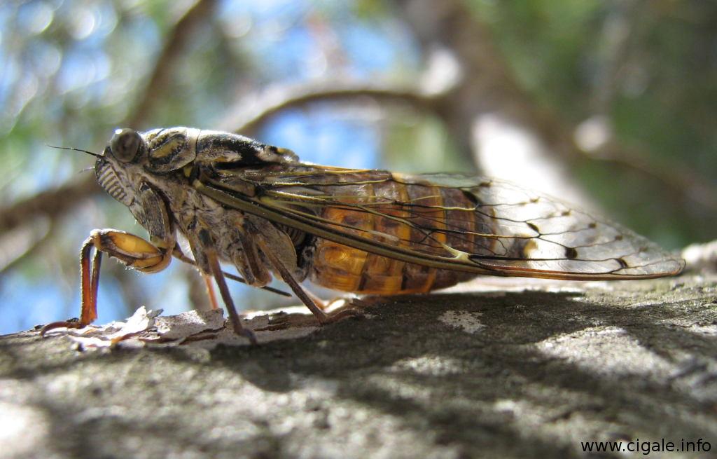 Cigale Photo le chant de la cigale, insecte de provence