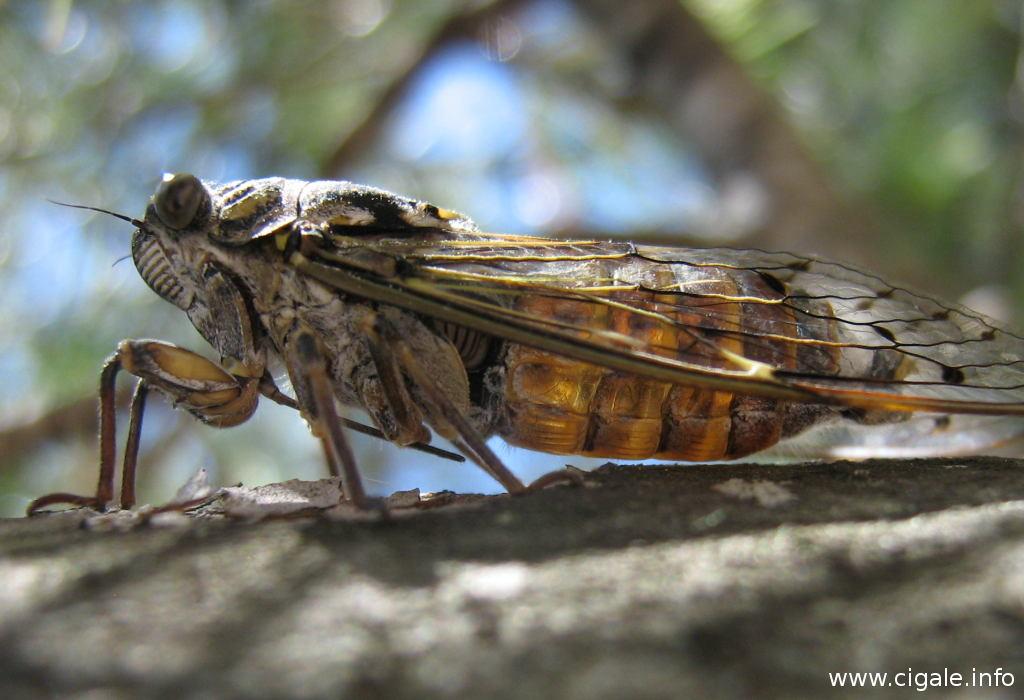 la cigale insecte de provence se nourrit gr ce son rostre ou trompe. Black Bedroom Furniture Sets. Home Design Ideas