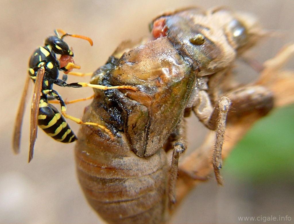 Que Mange Les Guepes les prédateurs de la cigale. insecte de provence, de la côte